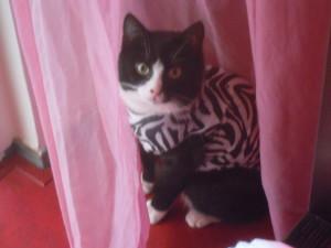 Binkie zit in de plooi van een roze gordijn.